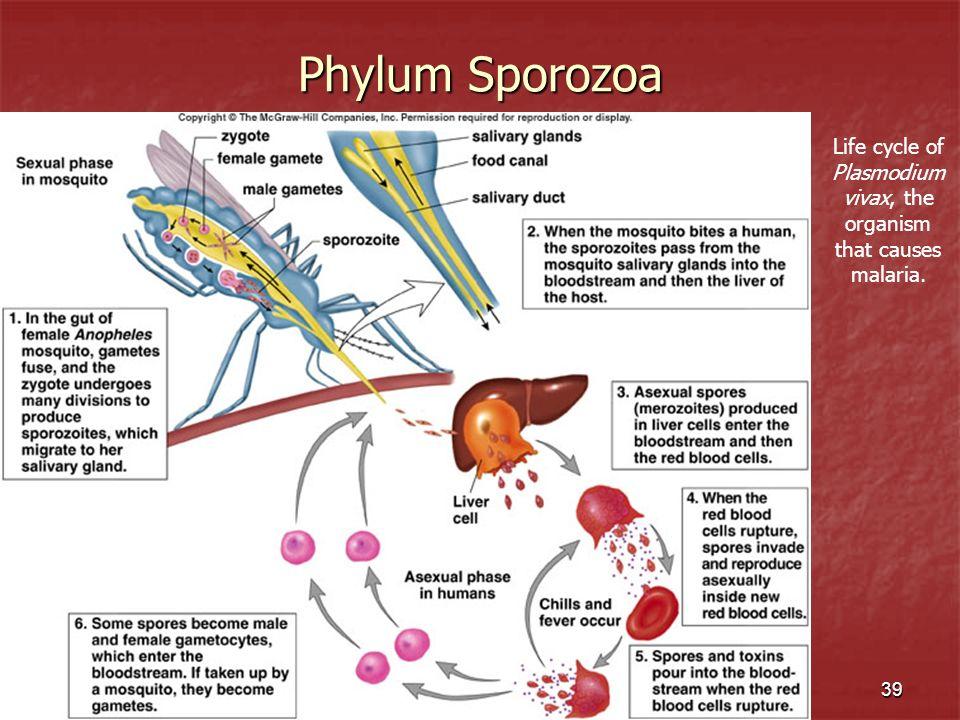 39 Phylum Sporozoa Life cycle of Plasmodium vivax, the organism that causes malaria.