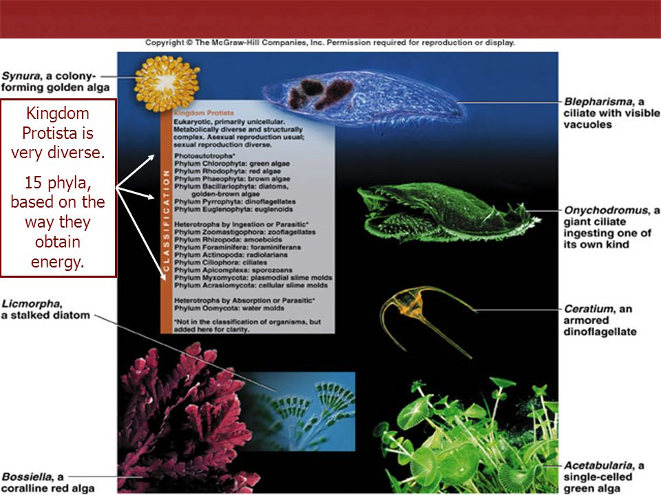 8 Kingdom Protista is very diverse. 15 phyla, based on the way they obtain energy.