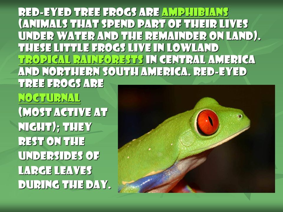 Anatomy: Red-Eyed Tree Frogs are named for their large, bulging, red eyes.