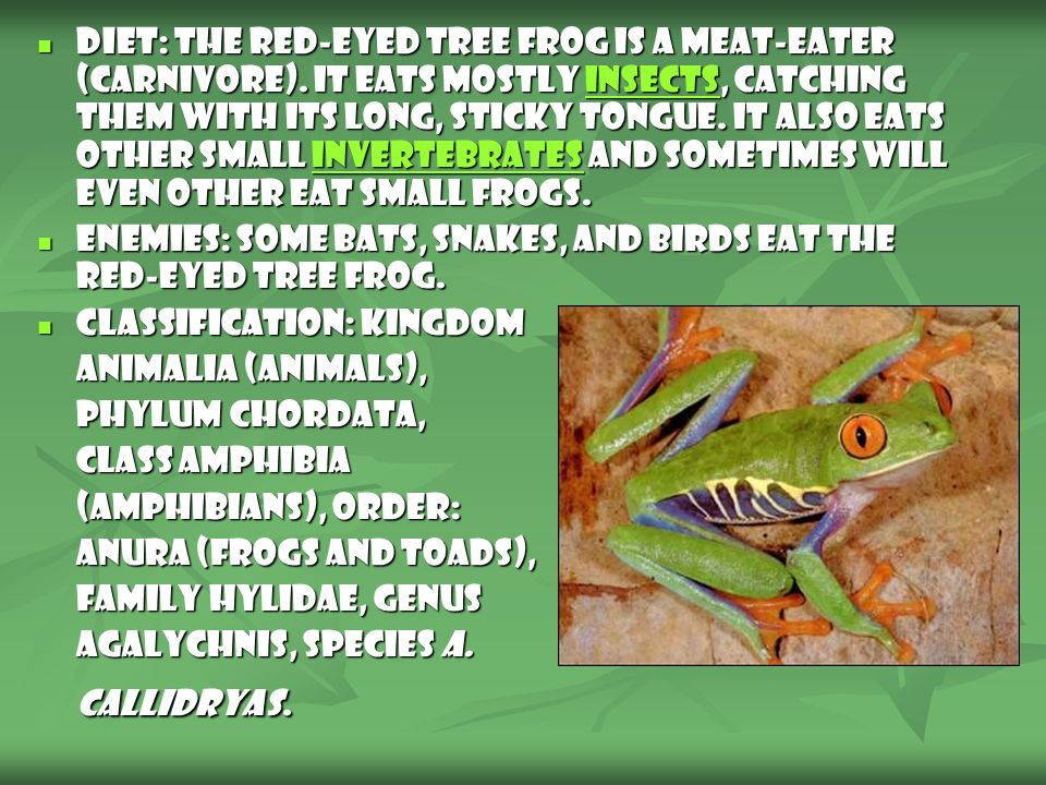 Diet: The Red-Eyed Tree Frog is a meat-eater (carnivore). It eats mostly insects, catching them with its long, sticky tongue. It also eats other small