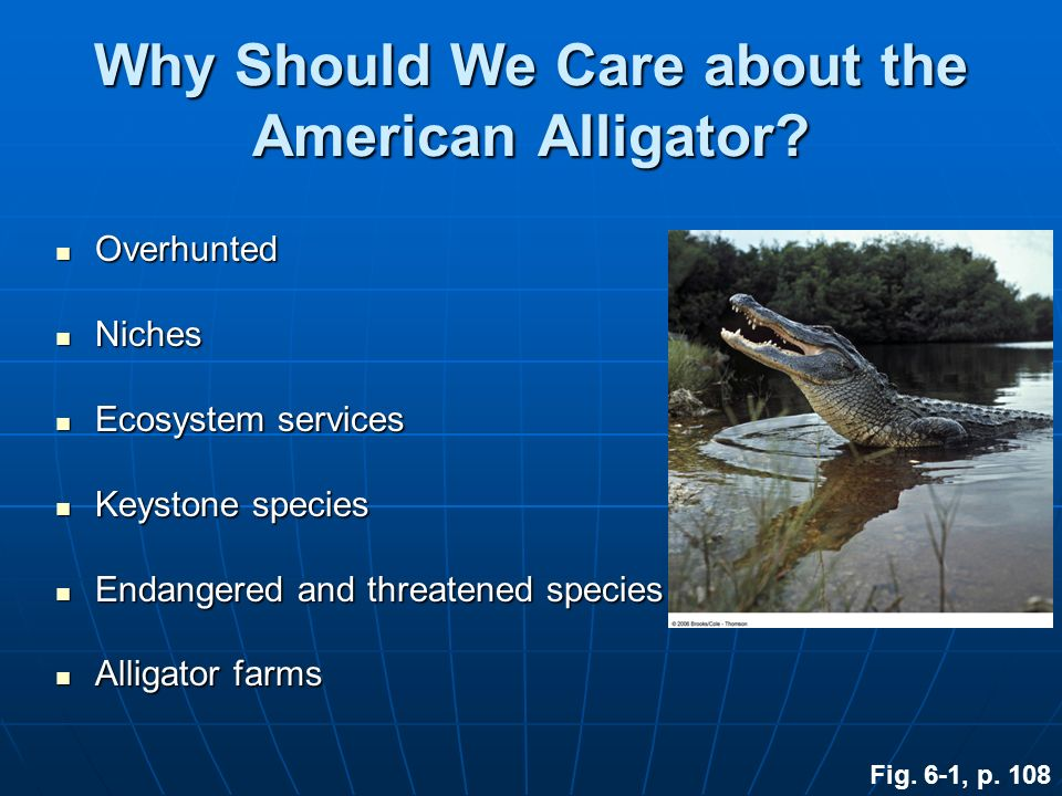 Why Should We Care about the American Alligator? Overhunted Overhunted Niches Niches Ecosystem services Ecosystem services Keystone species Keystone s