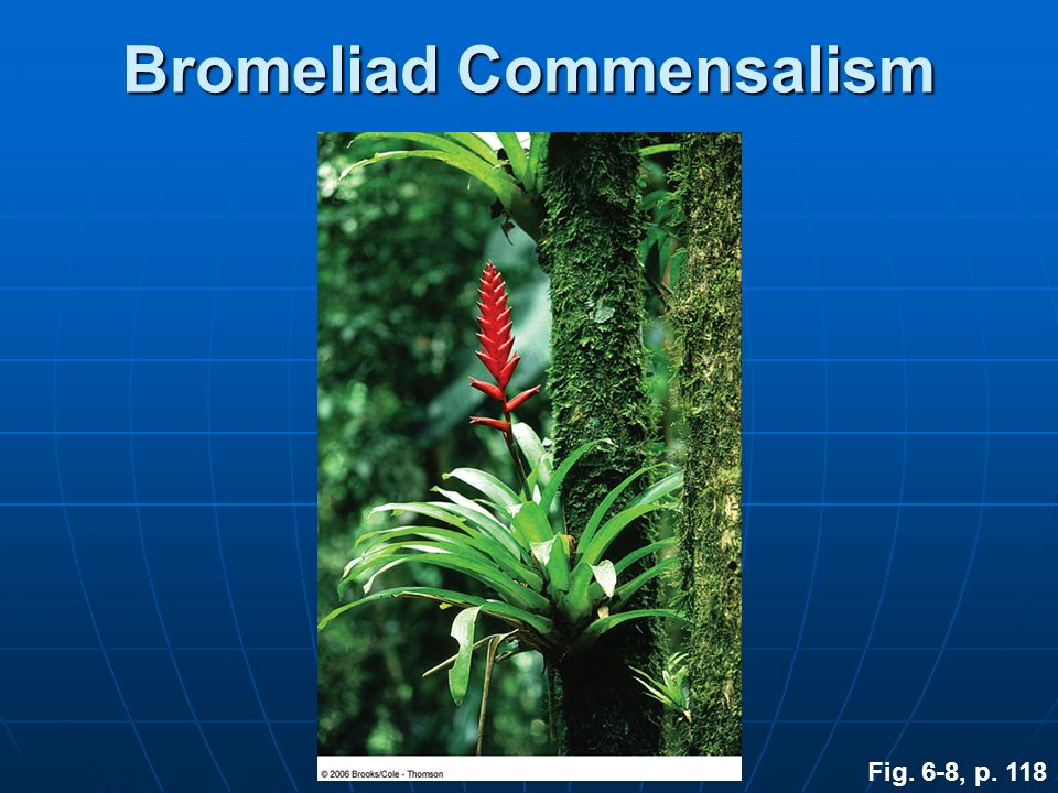 Bromeliad Commensalism Fig. 6-8, p. 118
