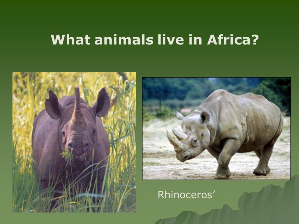 What animals live in Africa Rhinoceros