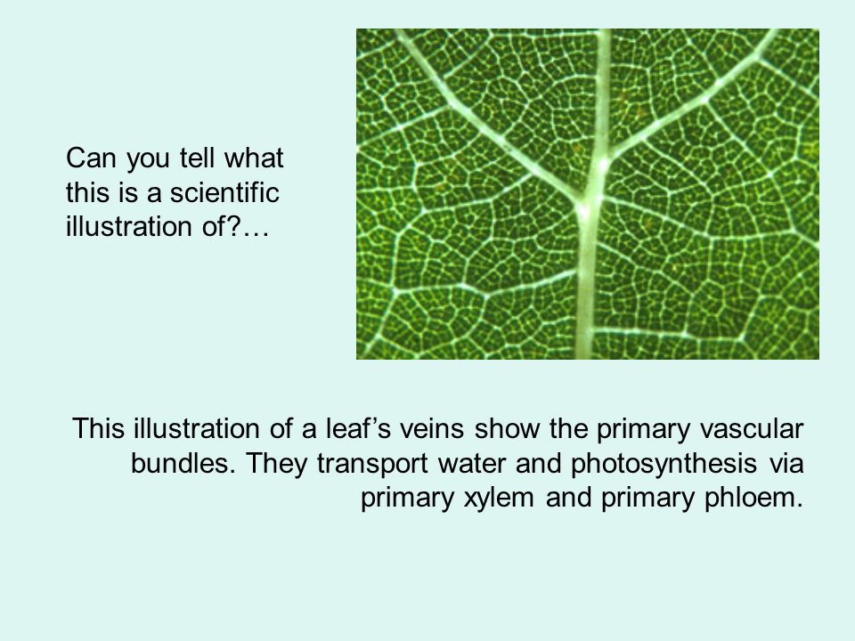 This illustration of a leafs veins show the primary vascular bundles.