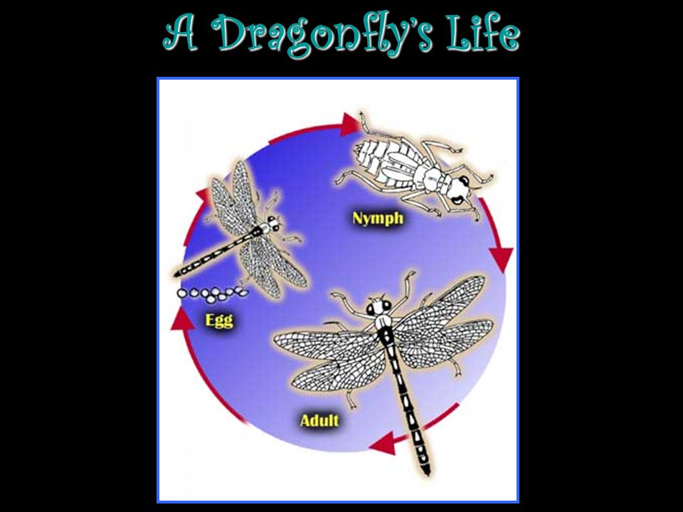 An Adult Dragonfly: Has 2 sets of wings.Has a head, body, and long tail.