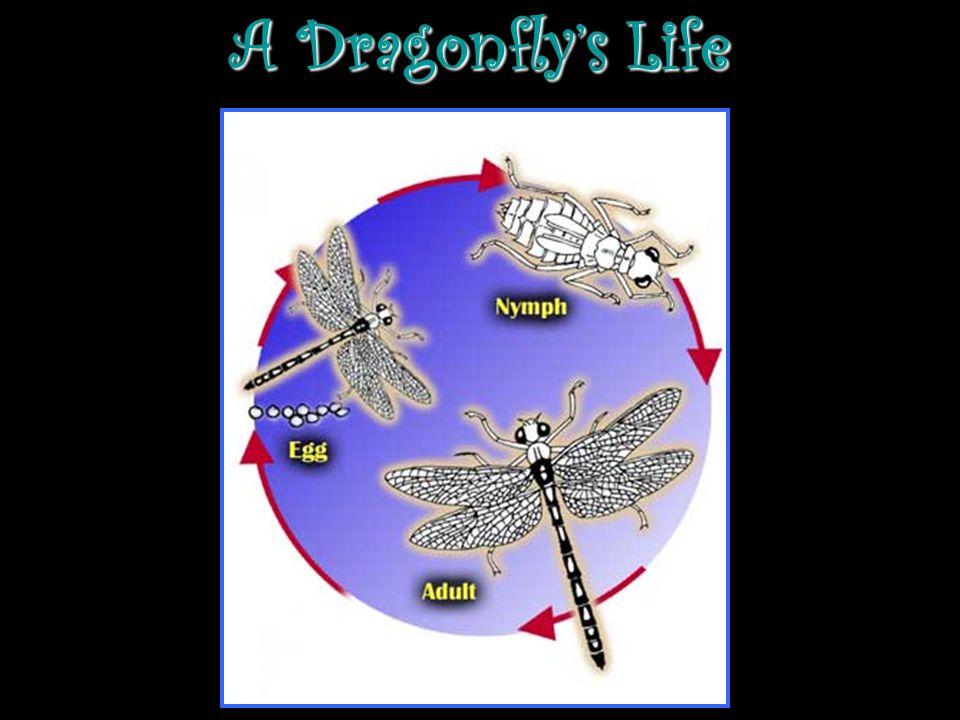 A Dragonflys Life