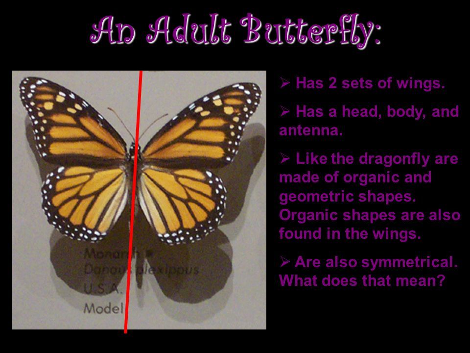An Adult Butterfly: Has 2 sets of wings. Has a head, body, and antenna.