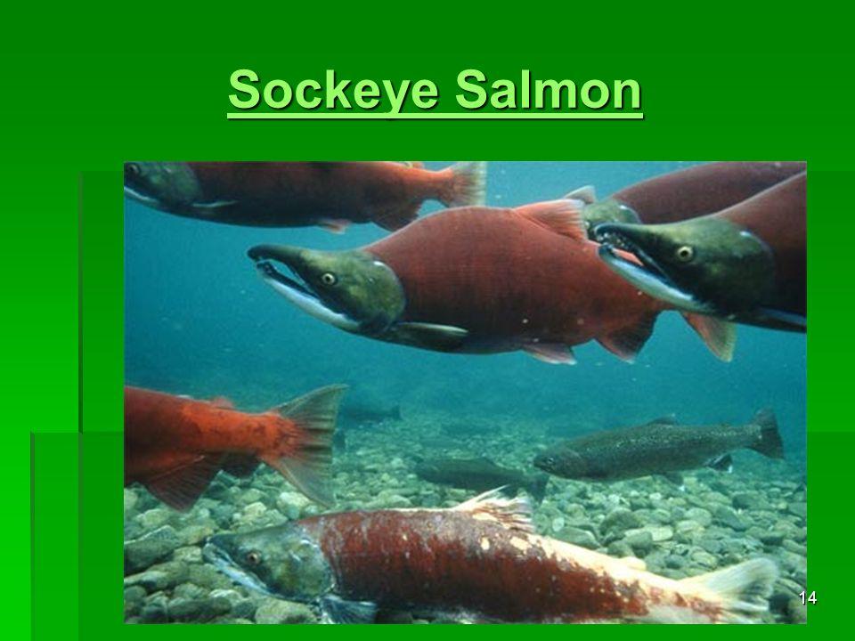 Sockeye Salmon Sockeye Salmon 14