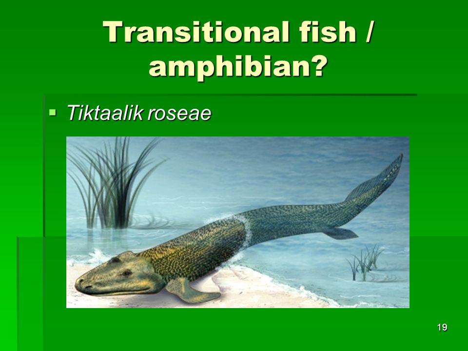 Transitional fish / amphibian? Tiktaalik roseae Tiktaalik roseae 19