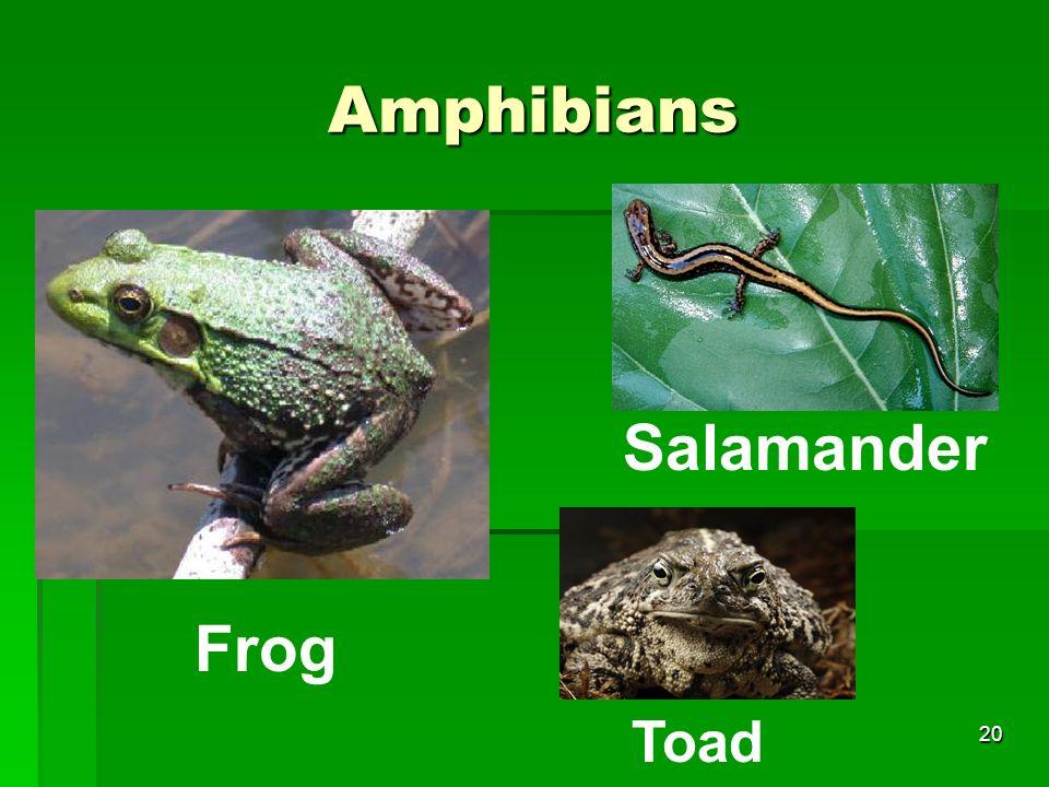 Amphibians Frog Salamander 20 Toad