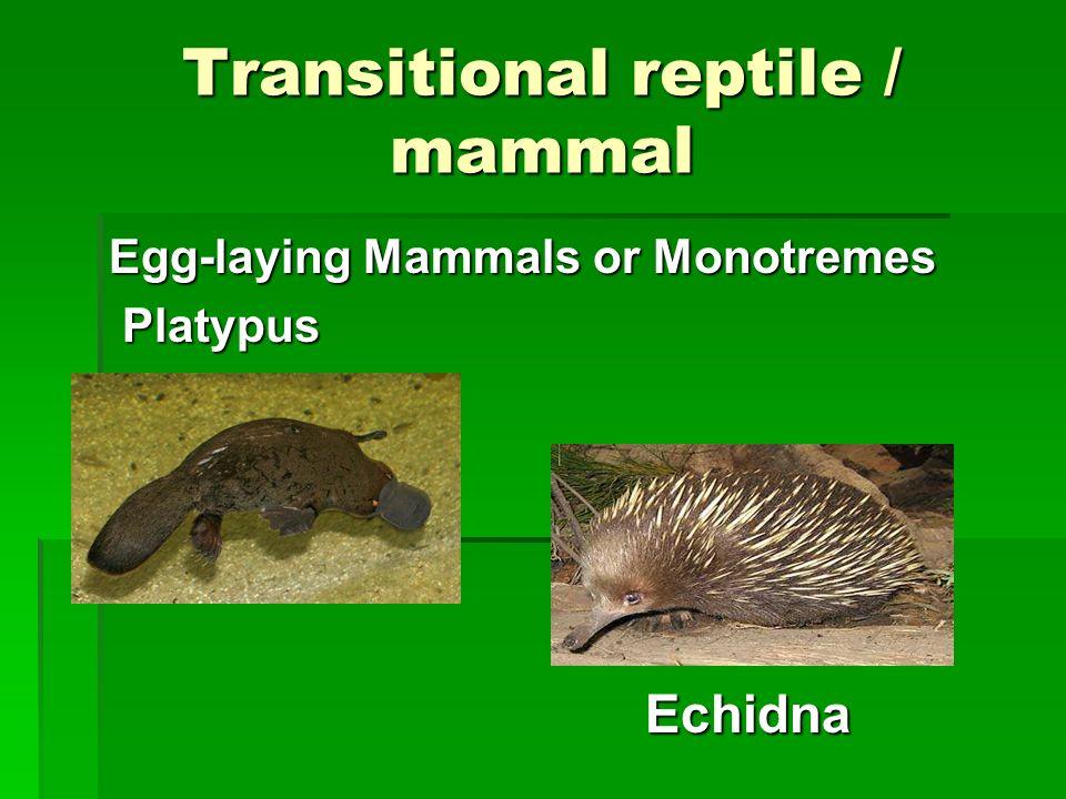 Transitional reptile / mammal Egg-laying Mammals or Monotremes Platypus Platypus Echidna