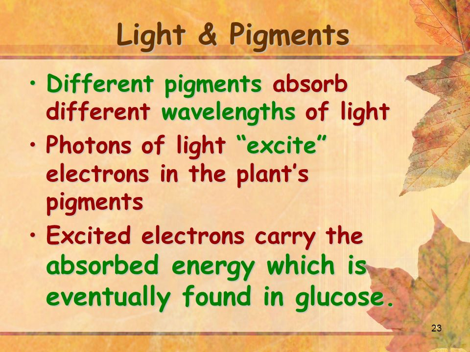 23 Light & Pigments Different pigments absorb different wavelengths of lightDifferent pigments absorb different wavelengths of light Photons of light