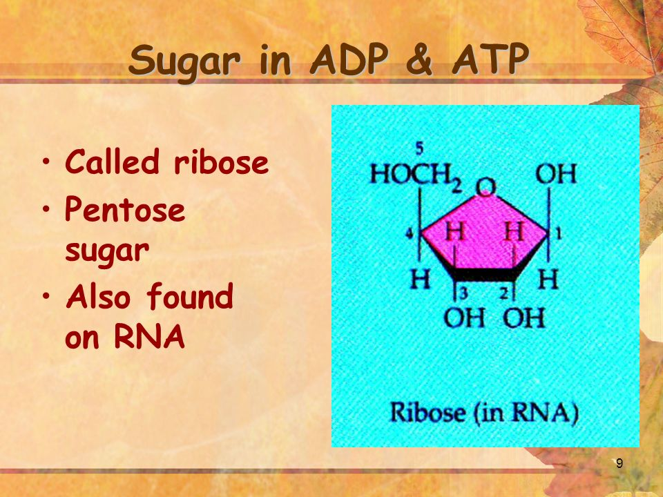 9 Sugar in ADP & ATP Called ribose Pentose sugar Also found on RNA