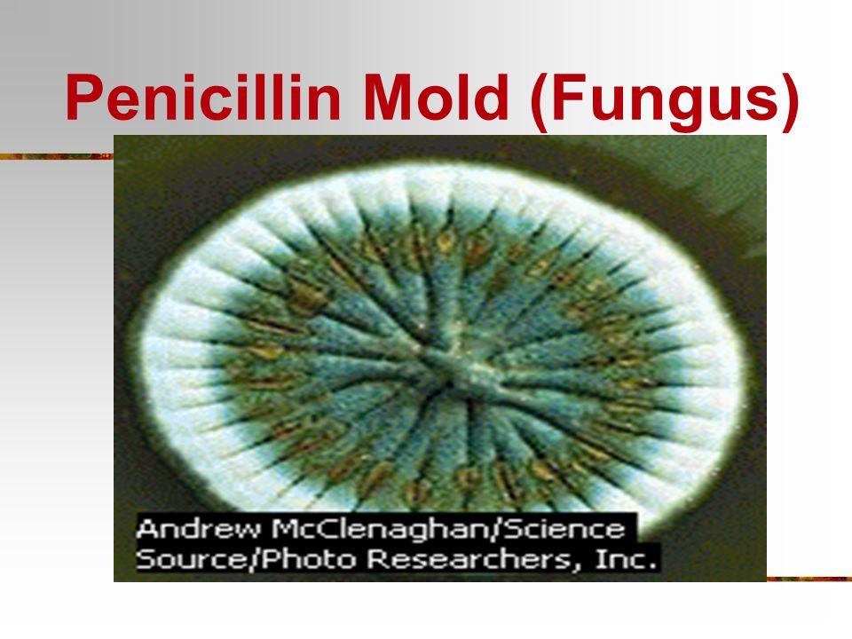 Bacteria Kingdom Characteristics: Archaebacteria Extremists Saline (salt) habitats Hot sulfur springs Eubacteria Heterotrophs Parasites Saprobes Nitro