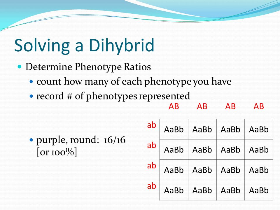 Solving a Dihybrid Determine Phenotype Ratios count how many of each phenotype you have record # of phenotypes represented purple, round: 16/16 [or 100%] AB ab AaBb ab AaBb ab AaBb ab AaBb