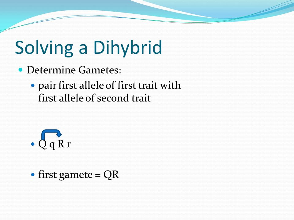 Solving a Dihybrid Determine Gametes: pair first allele of first trait with first allele of second trait Q q R r first gamete = QR
