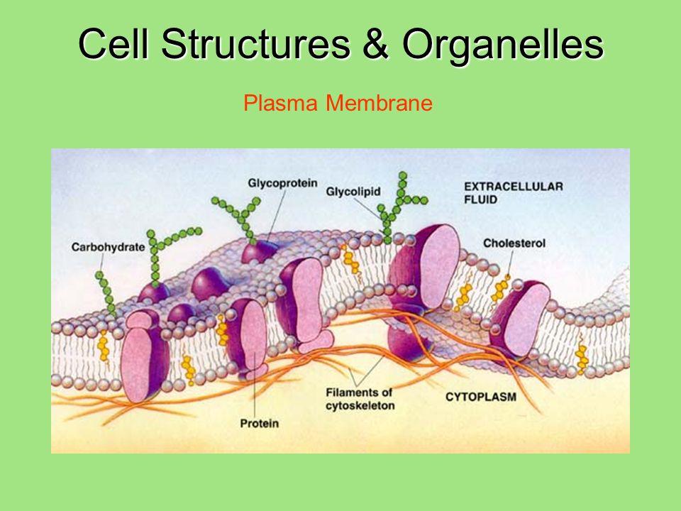 Cell Structures & Organelles Plasma Membrane