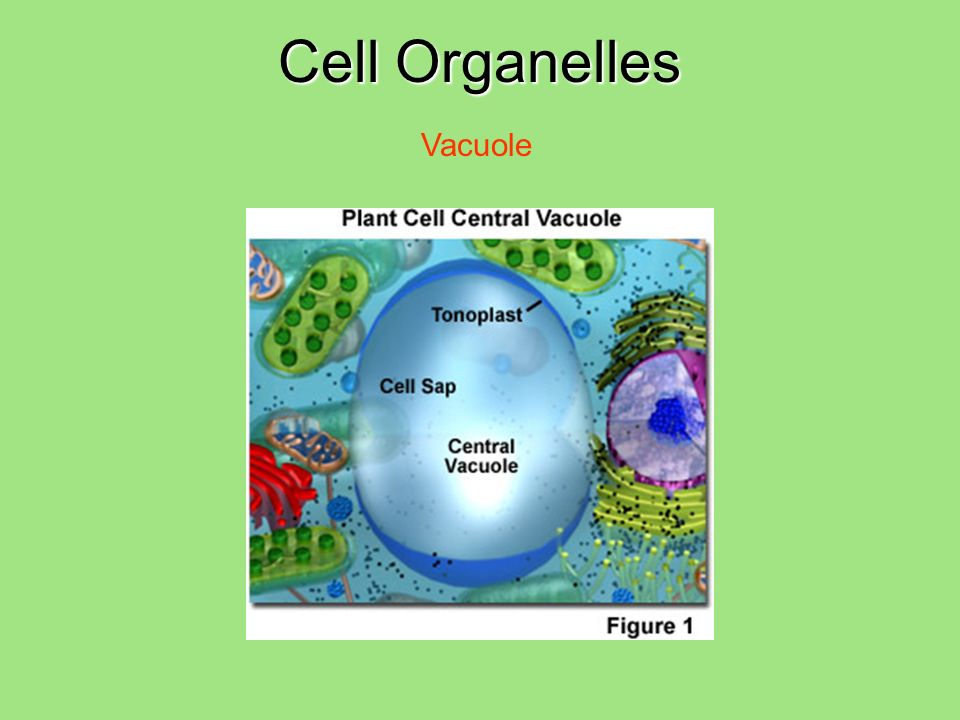 Cell Organelles Vacuole