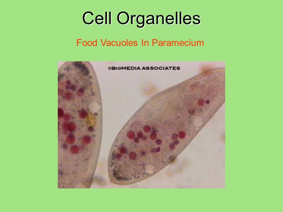 Cell Organelles Food Vacuoles In Paramecium