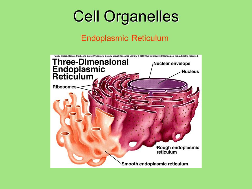 Cell Organelles Endoplasmic Reticulum