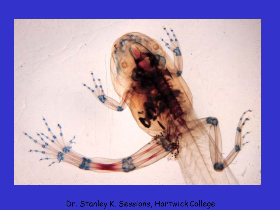 Trematode (flatworm) cysts have been demonstrated to cause problems in limb bud development in tadpoles Dr. Stanley K. Sessions, Hartwick College