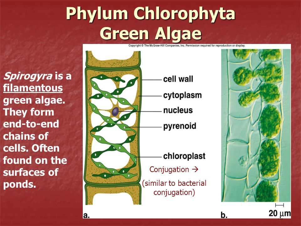 12 Phylum Chlorophyta Green Algae Spirogyra is a filamentous green algae. They form end-to-end chains of cells. Often found on the surfaces of ponds.