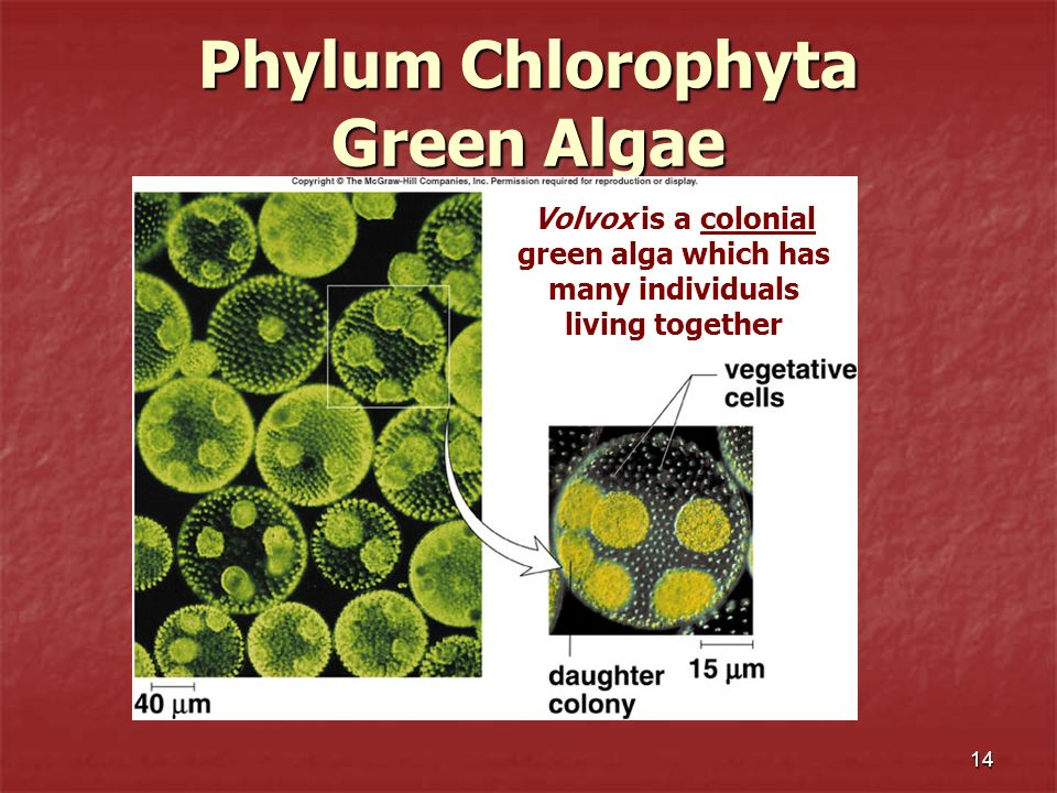 14 Phylum Chlorophyta Green Algae Volvox is a colonial green alga which has many individuals living together