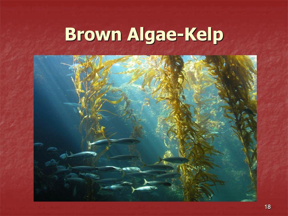 Brown Algae-Kelp 18