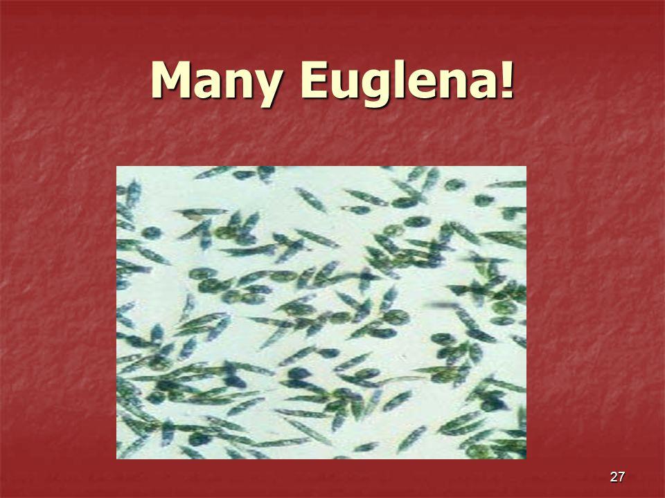 27 Many Euglena!