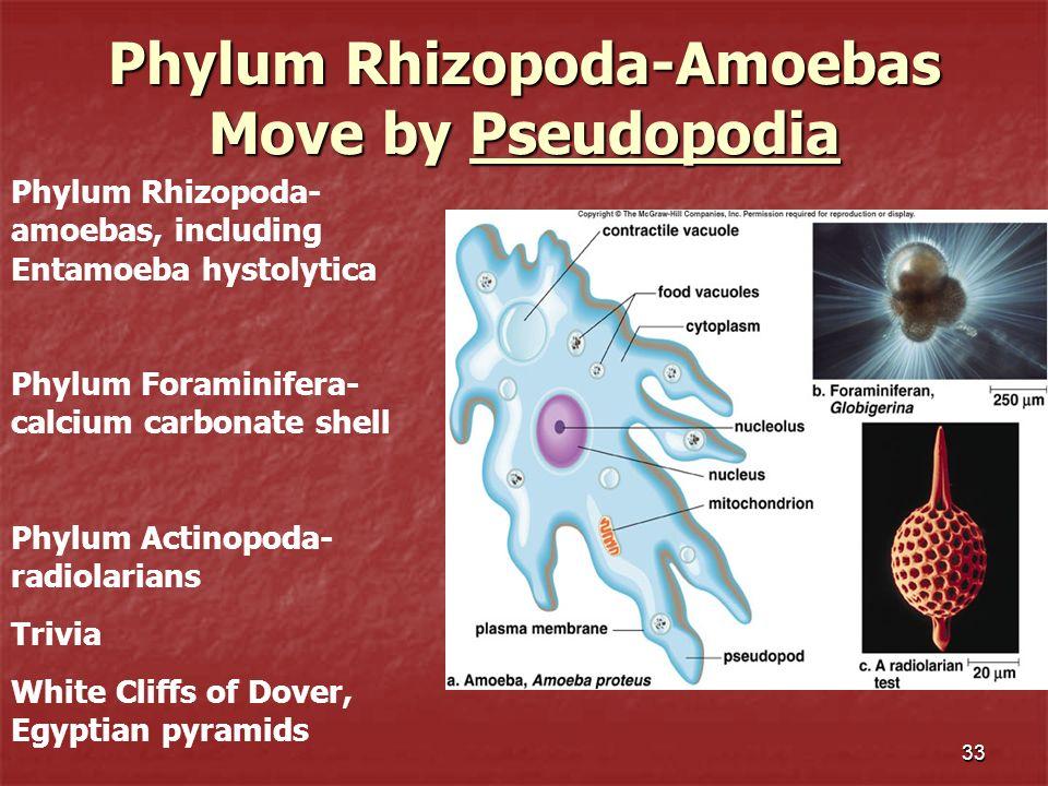 33 Phylum Rhizopoda-Amoebas Move by Pseudopodia Phylum Rhizopoda- amoebas, including Entamoeba hystolytica Phylum Foraminifera- calcium carbonate shel