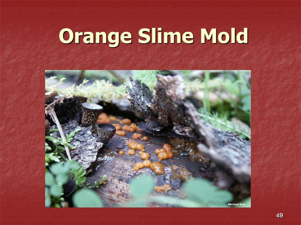 49 Orange Slime Mold Orange Slime Mold