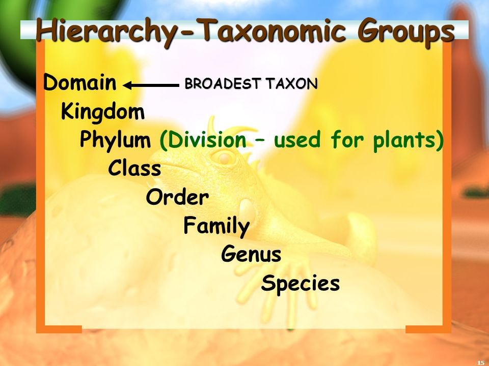 15 Hierarchy-Taxonomic Groups Domain Kingdom Phylum (Division – used for plants) Class Order Family Genus Species BROADEST TAXON