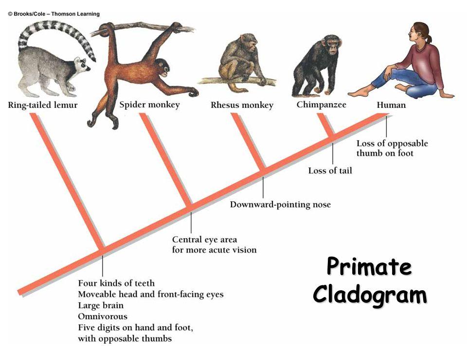 34 Primate Cladogram