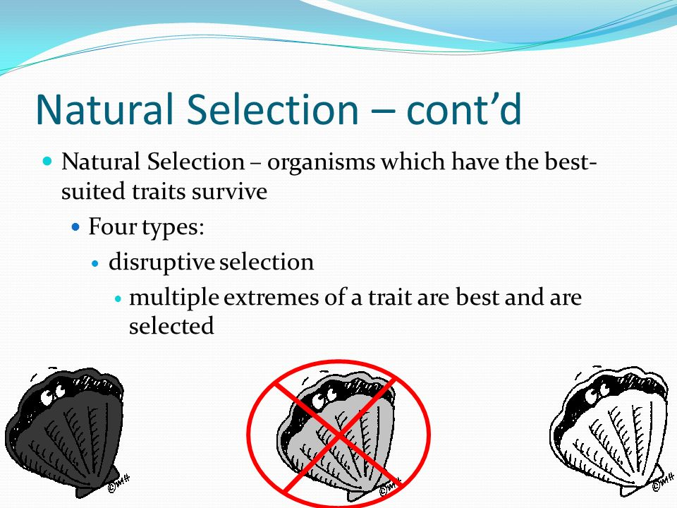 Natural Selection – contd Natural Selection – organisms which have the best- suited traits survive Four types: disruptive selection multiple extremes