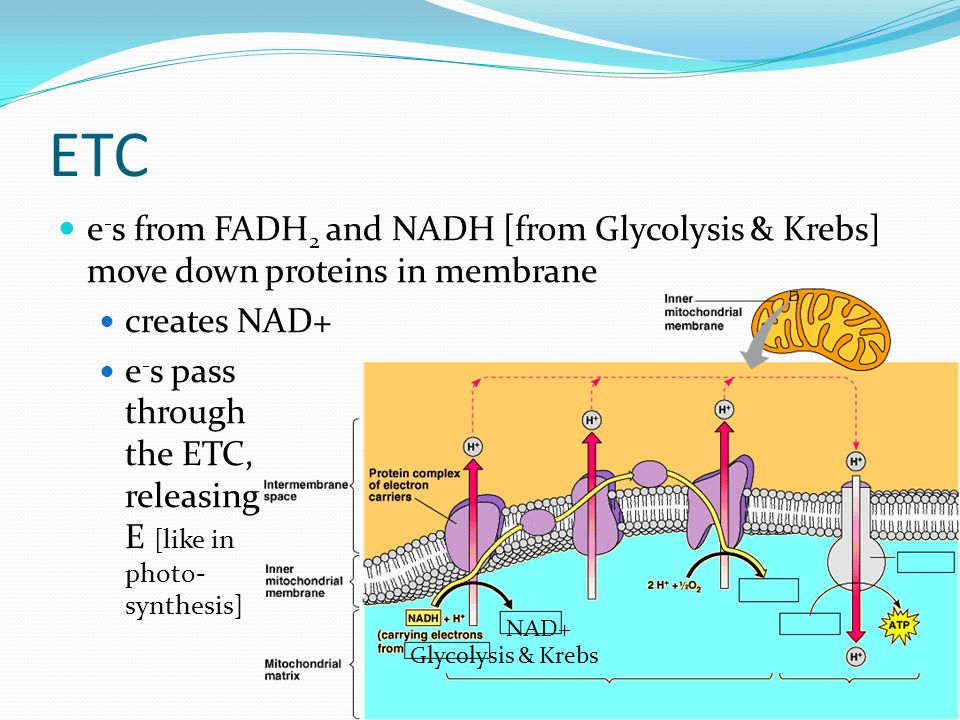 ETC e - s from FADH 2 and NADH [from Glycolysis & Krebs] move down proteins in membrane creates NAD+ e - s pass through the ETC, releasing E [like in