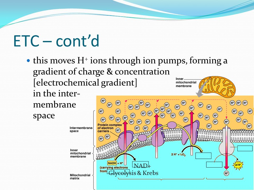 ETC – contd this moves H + ions through ion pumps, forming a gradient of charge & concentration [electrochemical gradient] in the inter- membrane spac