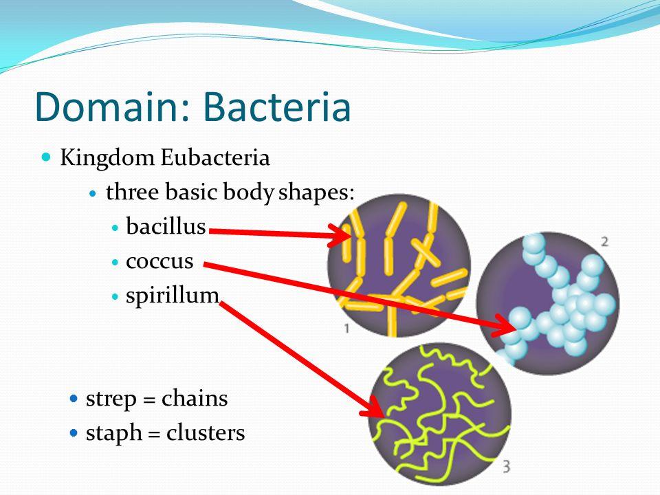 Domain: Bacteria Kingdom Eubacteria three basic body shapes: bacillus coccus spirillum strep = chains staph = clusters