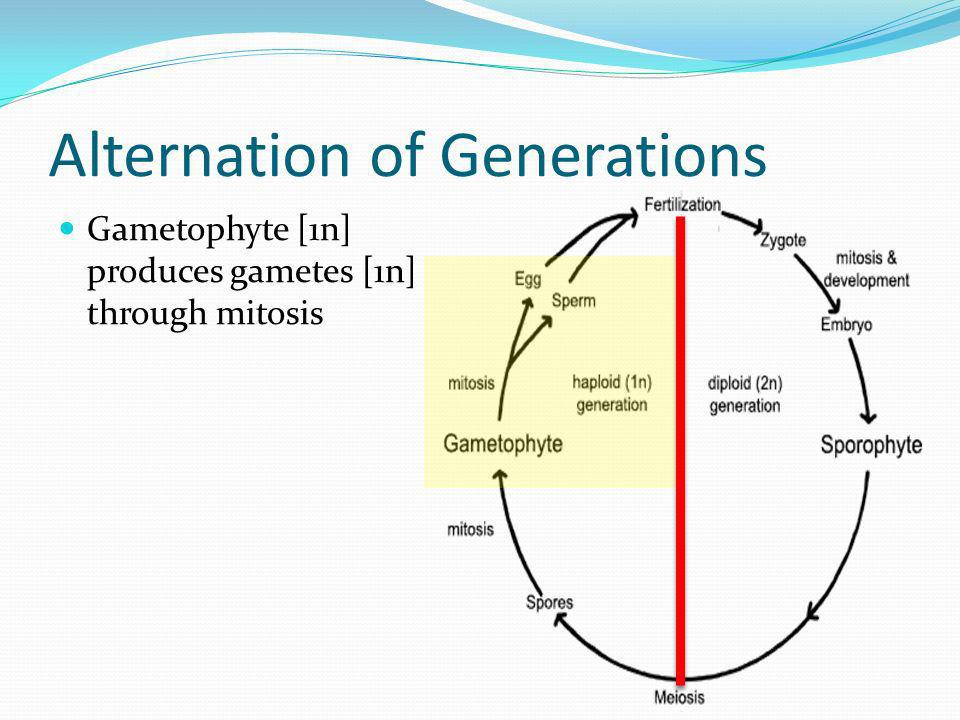 Alternation of Generations Gametophyte [1n] produces gametes [1n] through mitosis