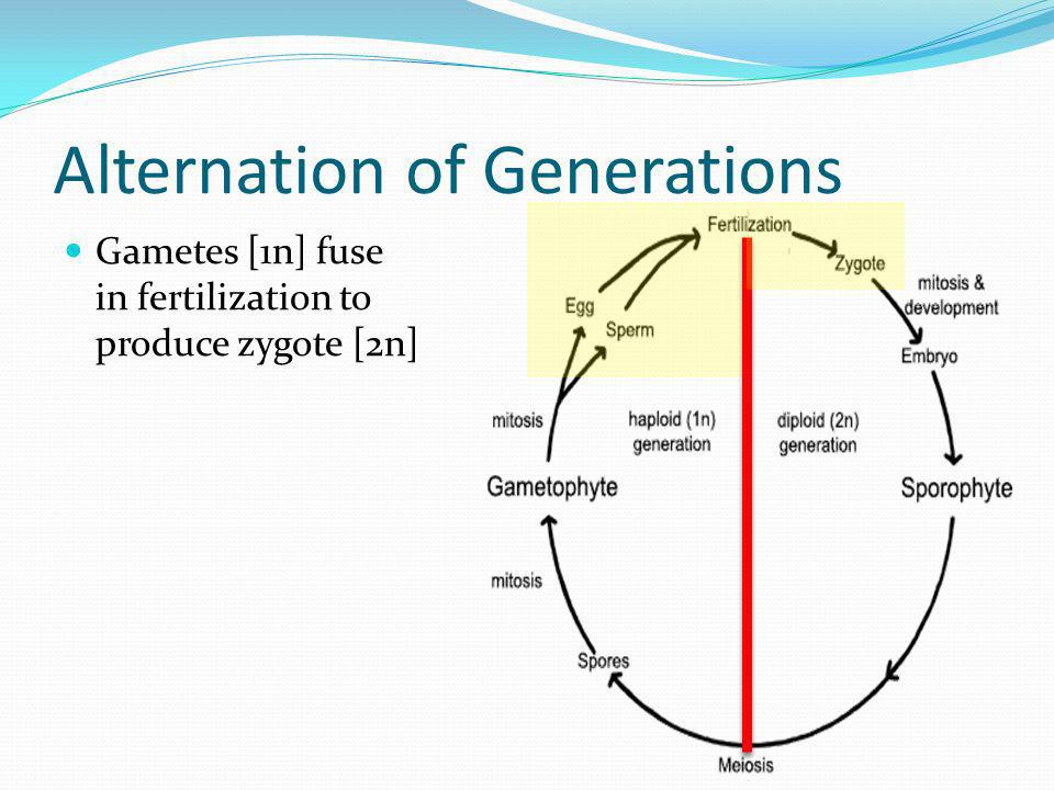 Alternation of Generations Gametes [1n] fuse in fertilization to produce zygote [2n]