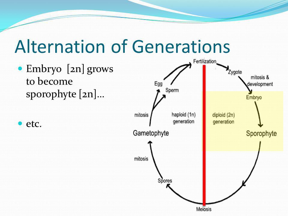 Alternation of Generations Embryo [2n] grows to become sporophyte [2n]… etc.