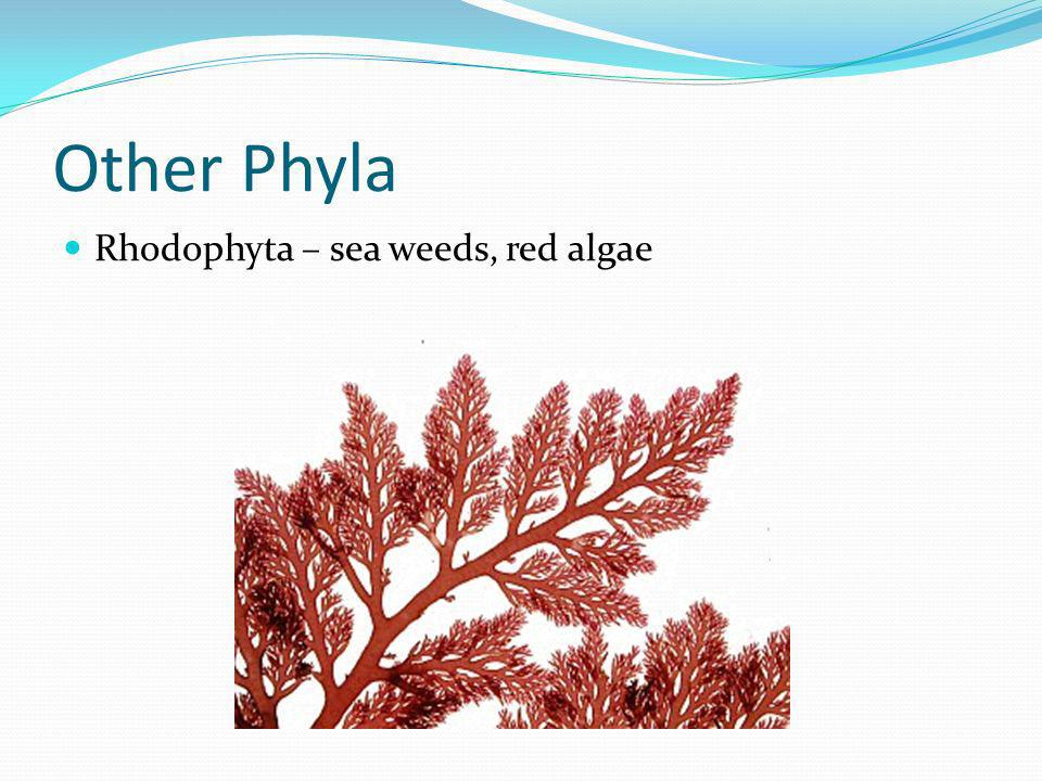 Other Phyla Rhodophyta – sea weeds, red algae