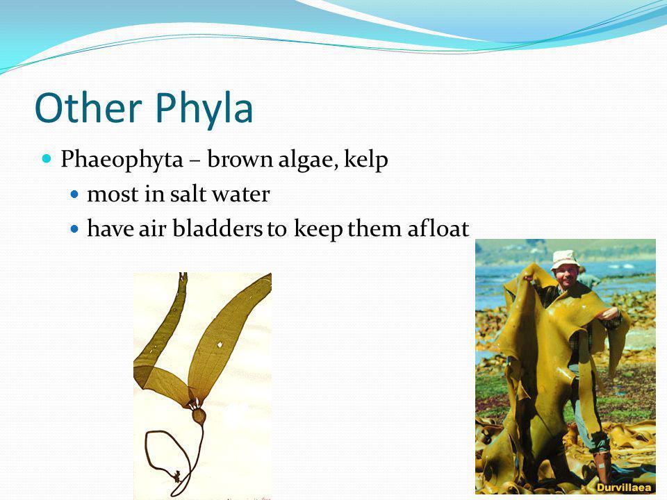 Other Phyla Phaeophyta – brown algae, kelp most in salt water have air bladders to keep them afloat
