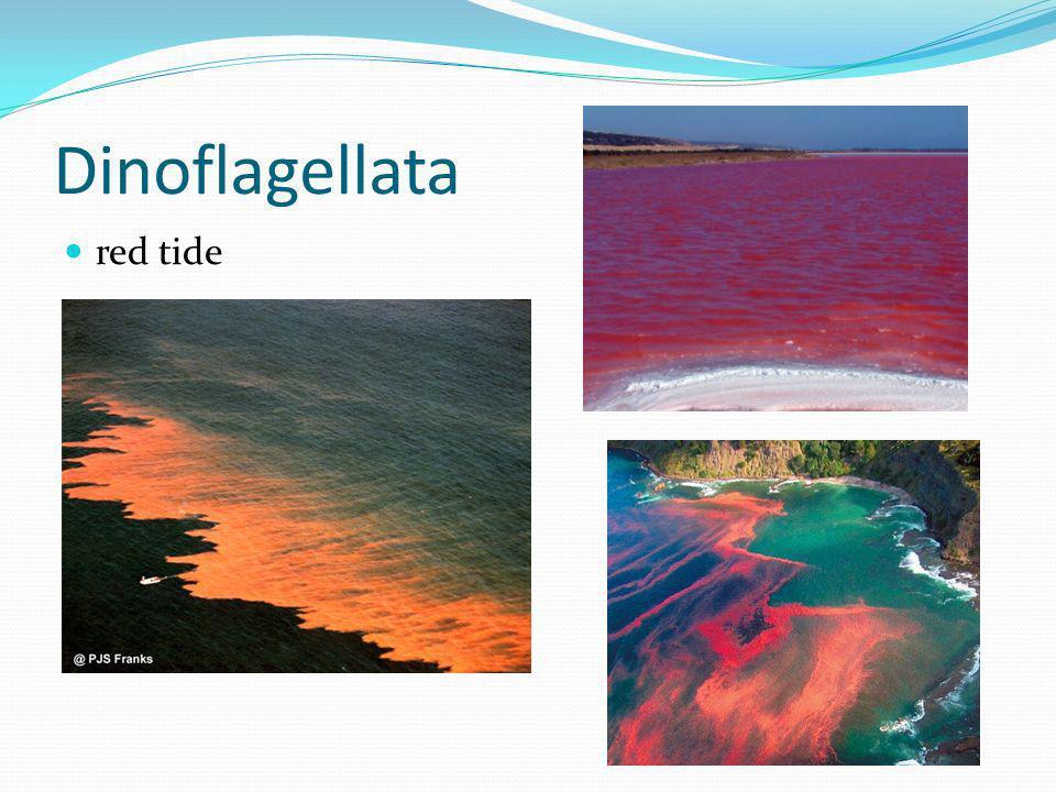 Dinoflagellata red tide