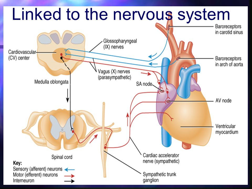 Linked to the nervous system