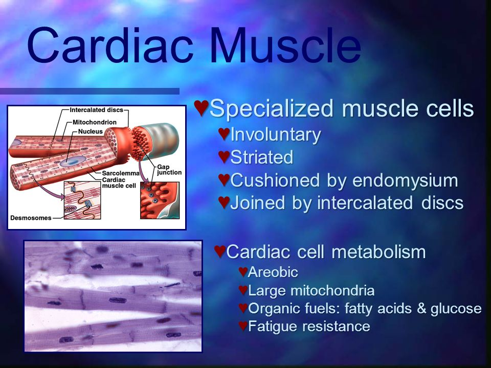 Cardiac Muscle Specialized muscle cells Specialized muscle cells Involuntary Involuntary Striated Striated Cushioned by endomysium Cushioned by endomy