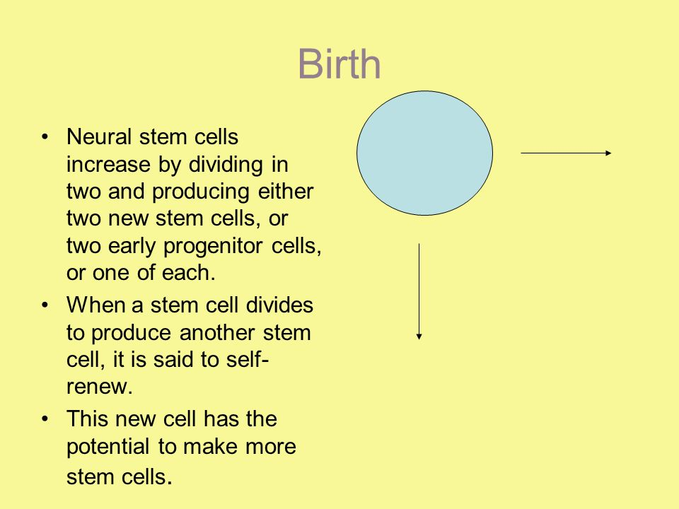 Birth Neural stem cells increase by dividing in two and producing either two new stem cells, or two early progenitor cells, or one of each.