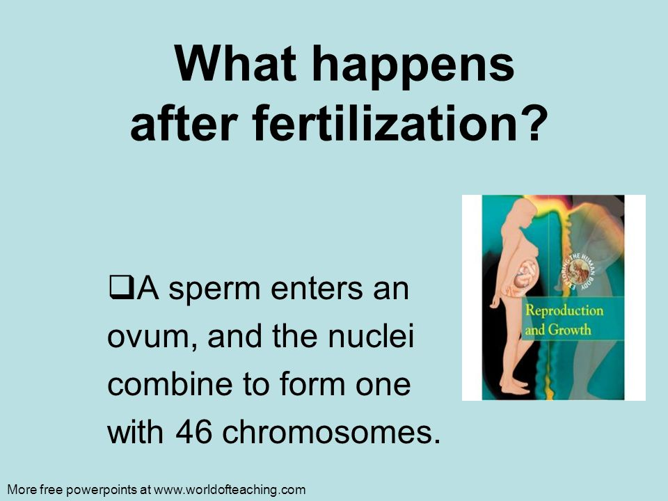 Fertilization: Four Major Steps 1.Sperm contacts the egg 2.Sperm or its nucleus enters the egg 3.Egg becomes activated and developmental changes begin 4.Sperm and egg nuclei fuse