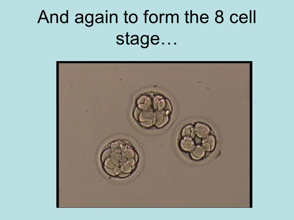 And again to form the 8 cell stage…