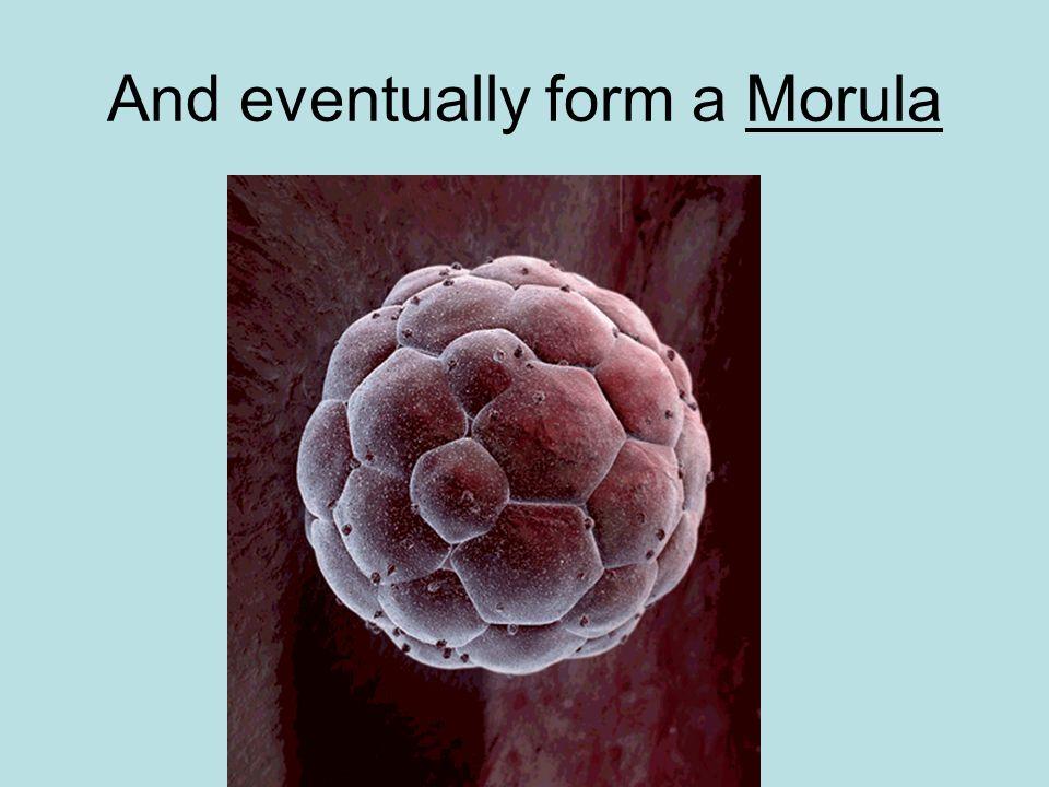 And eventually form a Morula