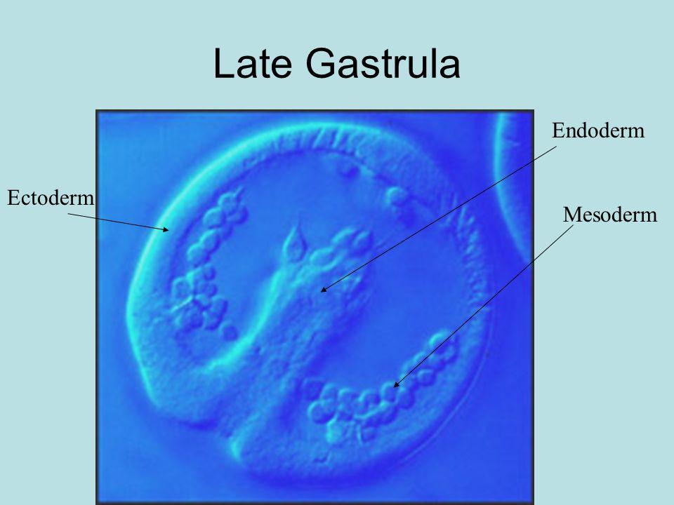 Late Gastrula Mesoderm Endoderm Ectoderm